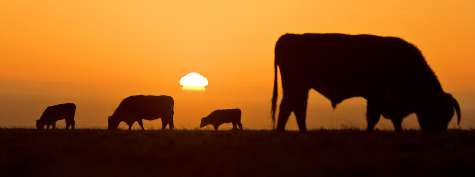 Beef Cattle grazing at sunset